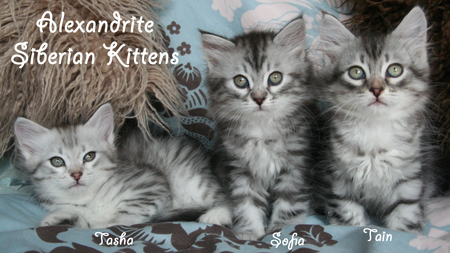 Available Siberian Kittens
